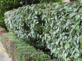Elaeagnus ebbingei olijfwilg haag heg haie hedge Hecke Zaun